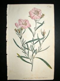 Curtis 1795 Hand Col Botanical Print. Narrow Leaved Convolvulus 289